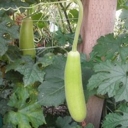 S016X01. Gourd - Asian Short Gourd (Edible)