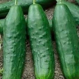 Cucumber - Straight 8