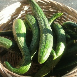 S013X01. Cucumber - Oriental Beijing cucumber x 1
