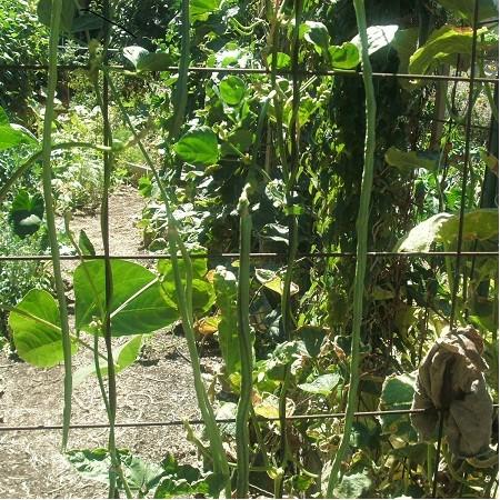 S018X01. Bean - Yard Long Black Stripe Bean