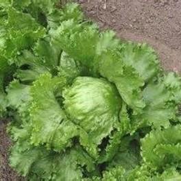 Lettuce - Crisphead Iceberg