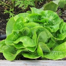 Lettuce Buttercrunch Bibb