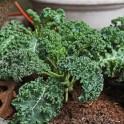 Kale:  Dwarf Blue Curly Vates
