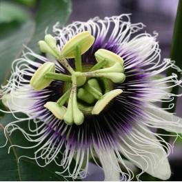 Passionfruit - Passiflora Edulis