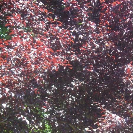 Purple Leaf Cherry Plum