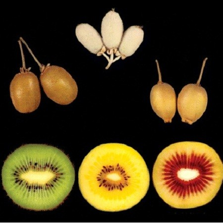 Kiwi - Colorful Mix