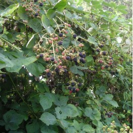 Blackberry - seeds