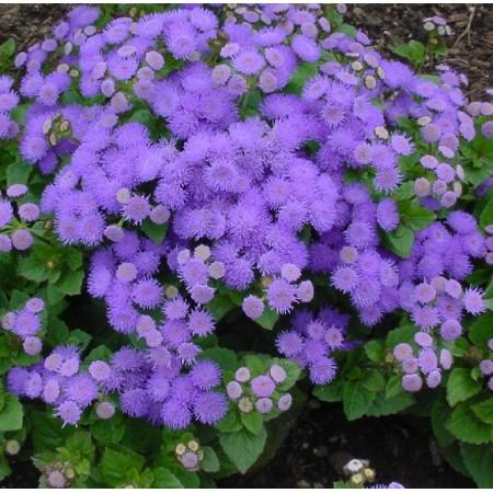 Ageratum / Floss Flower