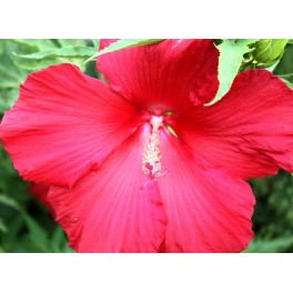 Hardy Pink Hibiscus