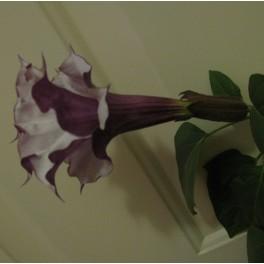 coreopsis mahogny midget