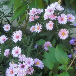 3 Perennial Aster Frikartii Monch Plants