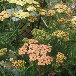 3 Perennial Achiella Yarrow Mix Plants
