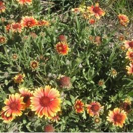 3 Perennial Blanket Flower Plants