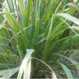 3 Perennial Herb - Lemon Grass Plants