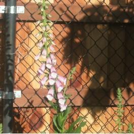 3 Perennial Foxglove Plants