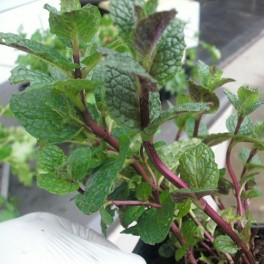 3 Perennial Herb - Spearmint Plants