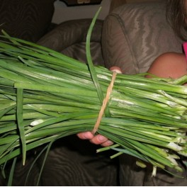 10 Perennial Herb - Chinese Garlic Chive Plants