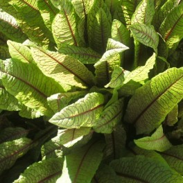 3 Perennial Herb - Red Veined Sorrel Plants