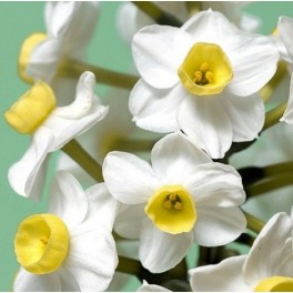 3 Perennial Spring Bulb - Narcissus Avalanche Plants