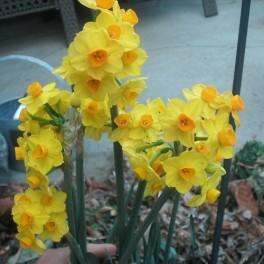 15 Perennial Spring Bulbs - Narcissus Tete-a-Tete Plants