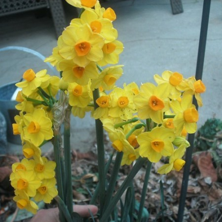 B01X15. 15 Perennial Spring Bulbs - Narcissus Tete-a-Tete Plants