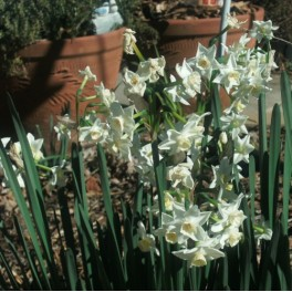 15 Perennial Spring Bulbs - Narcissus Wintersun Paperwhite Plants
