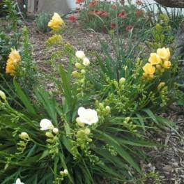 50 Perennial Bulbs - Mixed Freesia Plants