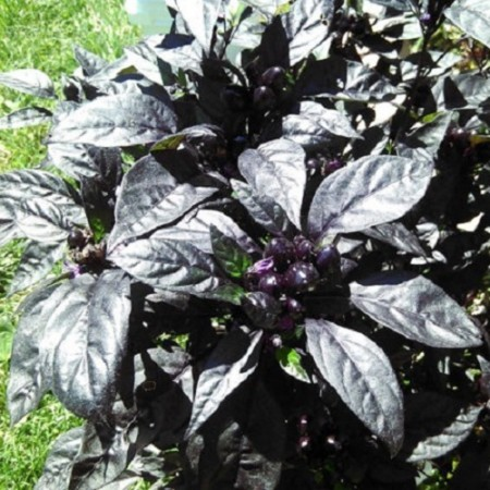Black Pearl Hot pepper 10 seeds