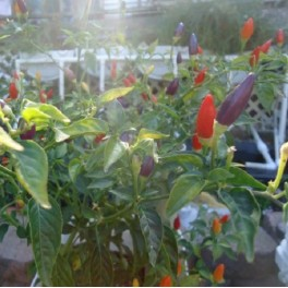 Bolivian Rainbow hot pepper