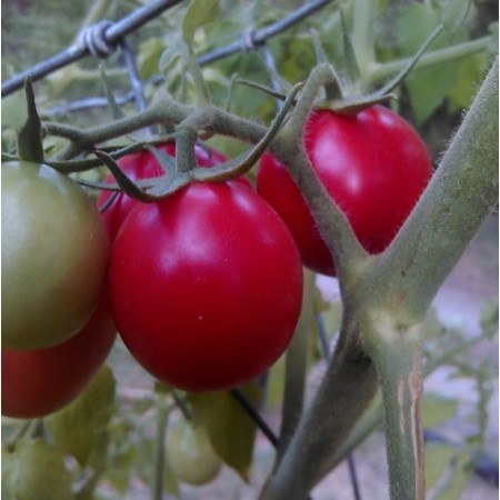 Pearly Pink Cherry tomato 20 seeds