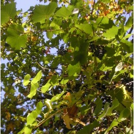 Wild California Grape Seeds - Vitis Californica