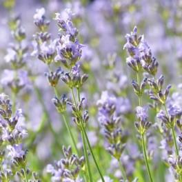 Lavender:  Vera