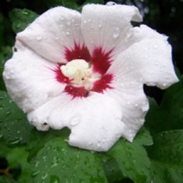 Rose of sharon - 'Helene' Hibiscus