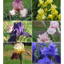 6 Fresh Tall Bearded Iris Rhizomes- Group B