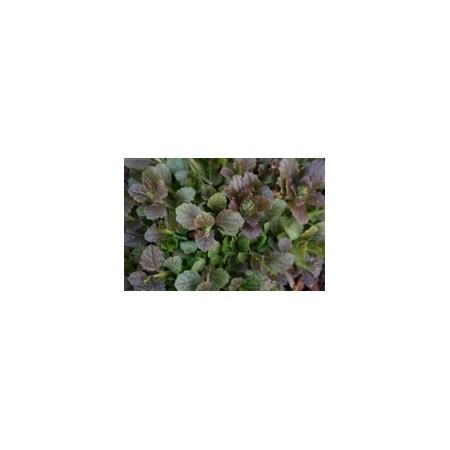 AJUGA BRONZE BEAUTY - 3 good rooted plants