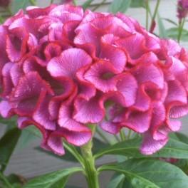 Cockscomb Pink