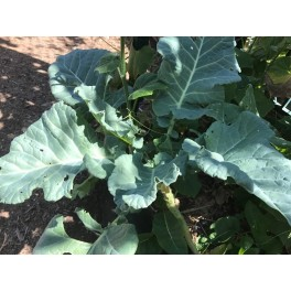 VP04X03. Yellow Cabbage Collard Plants - Perennial Vegetable