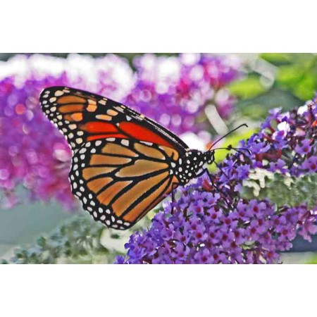 Butterfly Bush -Buddleia
