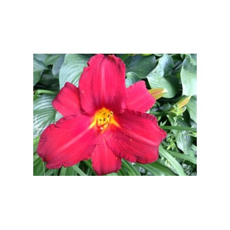 2 Bareroot Daylily fans - RED MAGIC