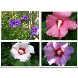 Rose of sharon - Hibiscus Mix