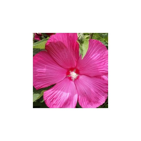 SOUTHERN BELL HIBISCUS