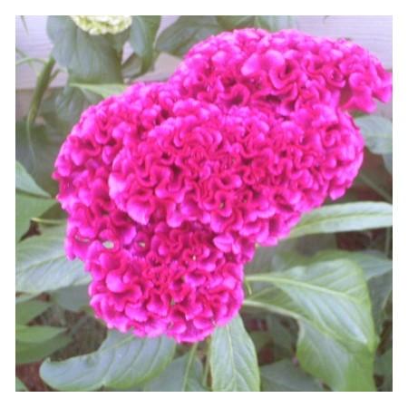 Cockscomb Hot Pink