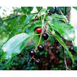 Black Cherry Tree Seeds