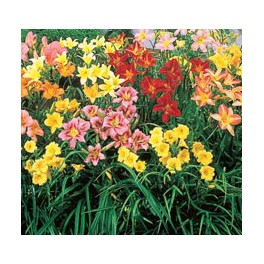 Daylily Mix Color