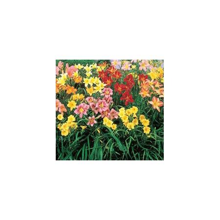 Daylily Mix Color