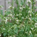 Arugula Roquette Seeds - Heirloom