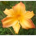 Daylily 'Golden Chance'
