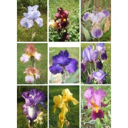 Iris Germanica Mix