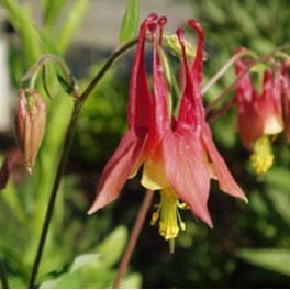 'Red Eastern Columbine'
