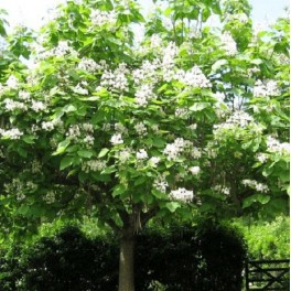 'Catalpa Tree'